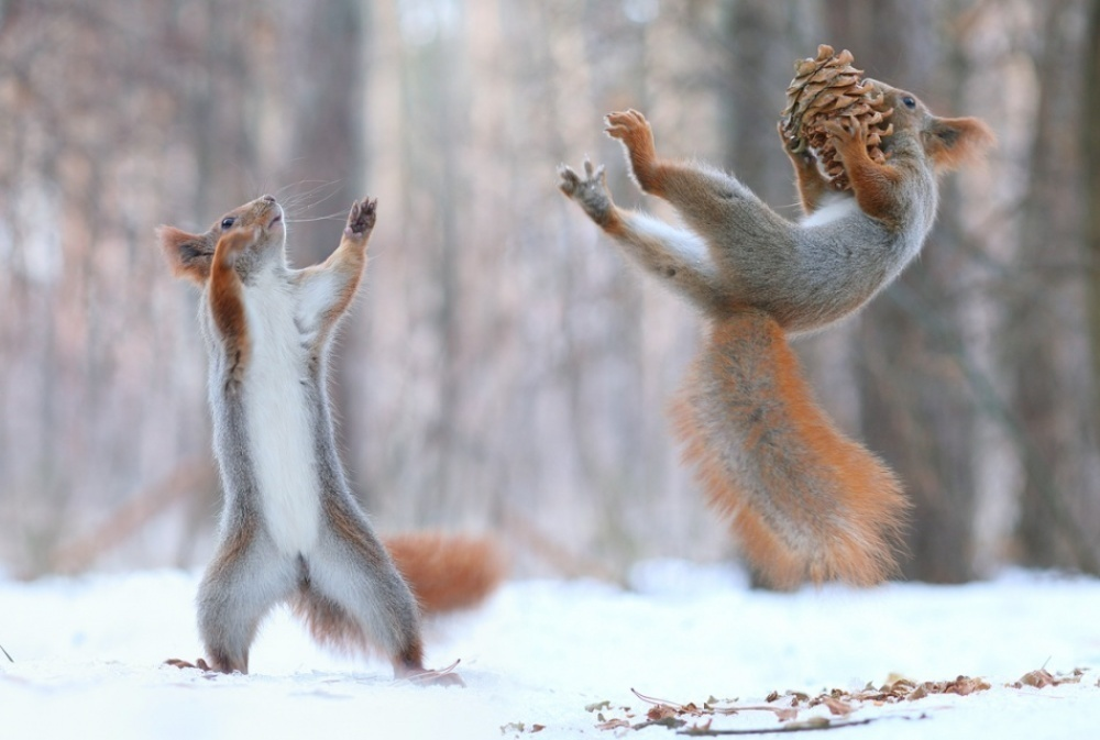 Red squirrels playing with snowballs.