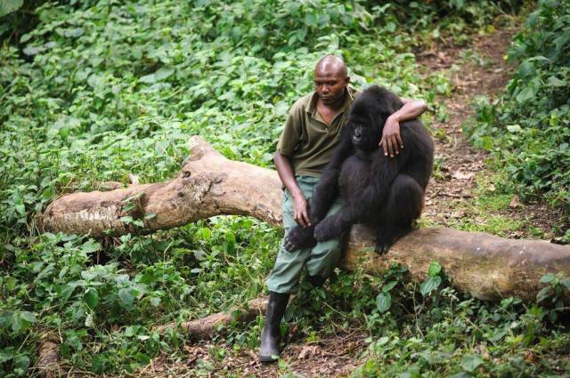 32 -  Man comforts gorilla after its mother was killed by poachers.